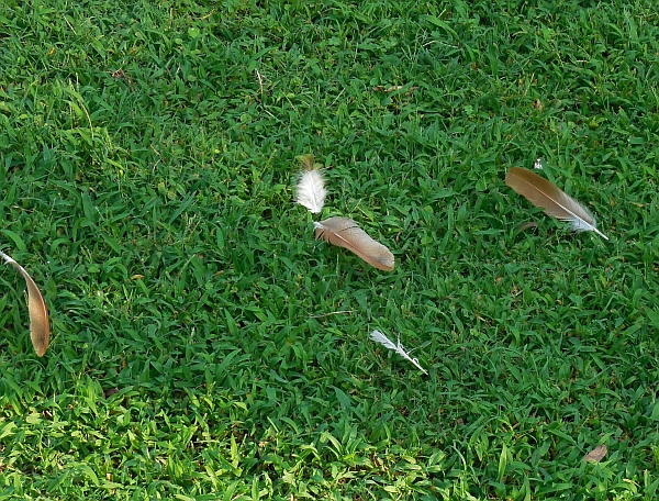 Feathers in the yard