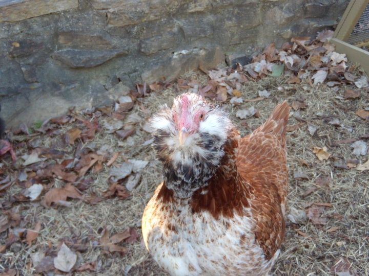 Victoria, Our First Chicken