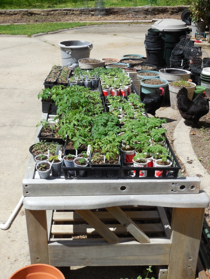 Tomato seedlings and two chickens